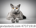 British Shorthair cat lying on white table 47371918