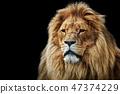 lion, carnivore, africa 47374229