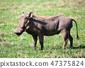 The warthog on savannah in the Ngorongoro crater, Tanzania, Africa. 47375824