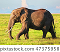 Elephant on savanna. Safari in Amboseli, Kenya, Africa 47375958