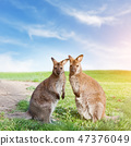 kangaroo, wildlife, animal 47376049
