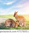 kangaroo, animal, wildlife 47376051