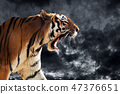 tiger, roaring, animal 47376651