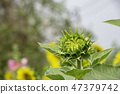Sunflowers or Helianthus annuus in garden. 47379742
