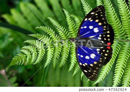 大紫蛺蝶 (Sasakia charonda)  47382924