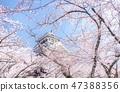 长滨城堡笼罩在樱花盛开的地方 47388356