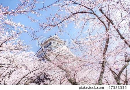 Nagahama castle enveloped in cherry blossoms 47388356