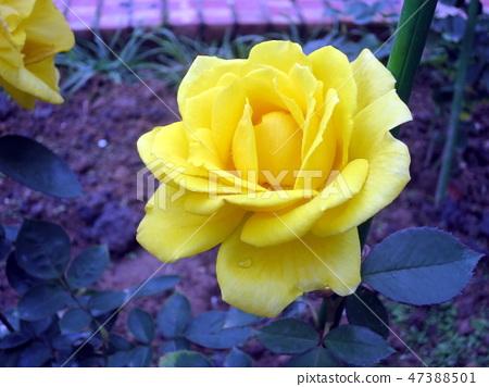 士林官邸的玫瑰 47388501