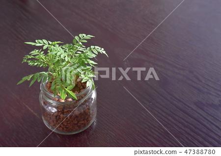 """수경 재배 관엽 식물 """"능소화""""하이드로 컬쳐 47388780"""