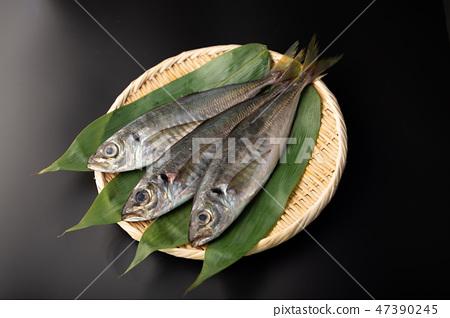 아지 물고기 47390245