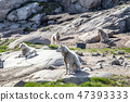 Sled Dogs in Ilulissat, Greenland 47393333