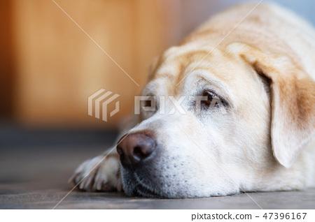 The dog sleeps sad waiting owner 47396167