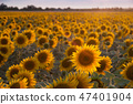 Agricultural background with sunflowers 47401904