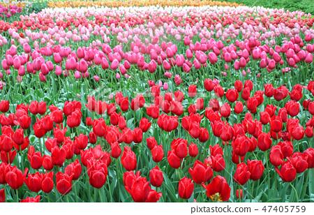 다양한 색상의 튤립이 만개한 공원(튤립 공원 풍경) 47405759