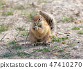 South African ground squirrel Kalahari 47410270