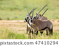Gemsbok, Oryx gazella in Kalahari 47410294