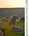 Herd of sheep and lambs on field 47421206