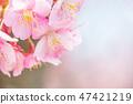【Kanagawa Prefecture】 Kawazu Sakura 47421219