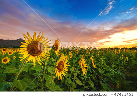 field of blooming sunflowers at sunrise. 47421453
