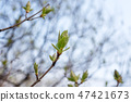 Buds of trees in a spring. Young leaves. Beautiful nature background. 47421673