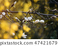Blooming tree branches. Bloomy magnolia tree with big white flowers. Perfect magnolia flower. 47421679