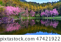 Beautiful cherry blossoms trees blooming in spring 47421922