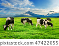 Cows eating lush grass on the green field 47422055
