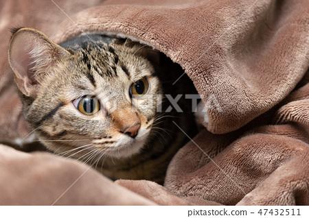 被毯裡探出頭的虎斑貓 47432511