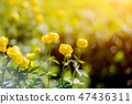 Globe-flower or Trollius europaeus in the field  47436311