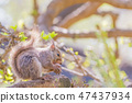 松鼠吃核桃 47437934