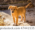 Golden cute puppy playing in autumn garden 47441535