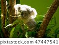Eating koala 47447541