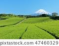 시즈오카 현 신록의 차밭과 후지산 47460329