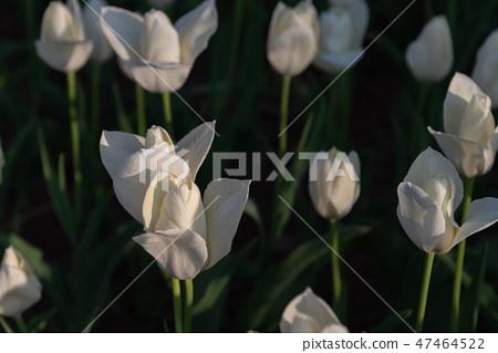 Colorful tulip flower garden white snow princess Shirayukihime 47464522
