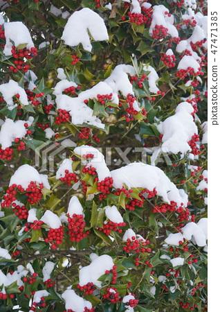 눈과 크리스마스 홀리 (서양 호랑 가시 나무) 47471385