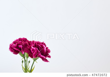 8 March Women's day Carnation 47472072