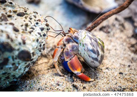 Hermit Crab in seashell crawling on the shore 47475868