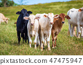 Beautiful cattle standing in the field of grass 47475947