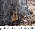 Squirrel eating beans 47477902