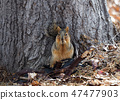 Squirrel eating beans 47477903