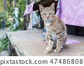 Cute Thai cat yellow eyed lying on wood table. 47486808