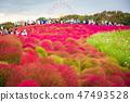 Kochia at Hitachi Seaside Park at Ibaraki, Japan. 47493528