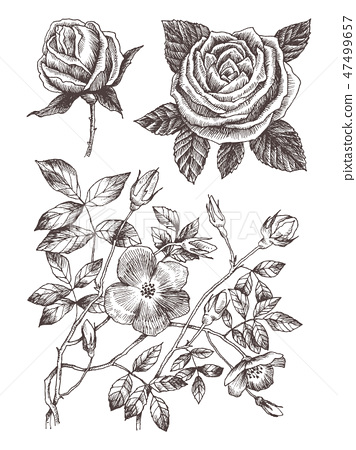 Wild roses blossom branch isolated on white  Vintage botanical hand