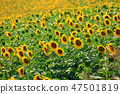 Sunflowers in the field 47501819
