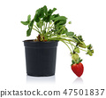 Strawberry plant with fruits in pot 47501837