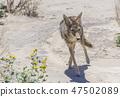 coyote stalk on roadside  in desert area. 47502089