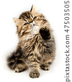 cat, fluffy, pet 47503505