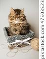 Beautiful Persian kitten cat marble color coat 47503523