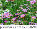 Colorful of Sulfur Cosmos flowers on a rack 47504698