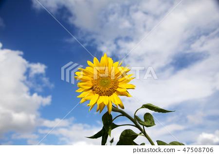해바라기,꽃,여름 47508706